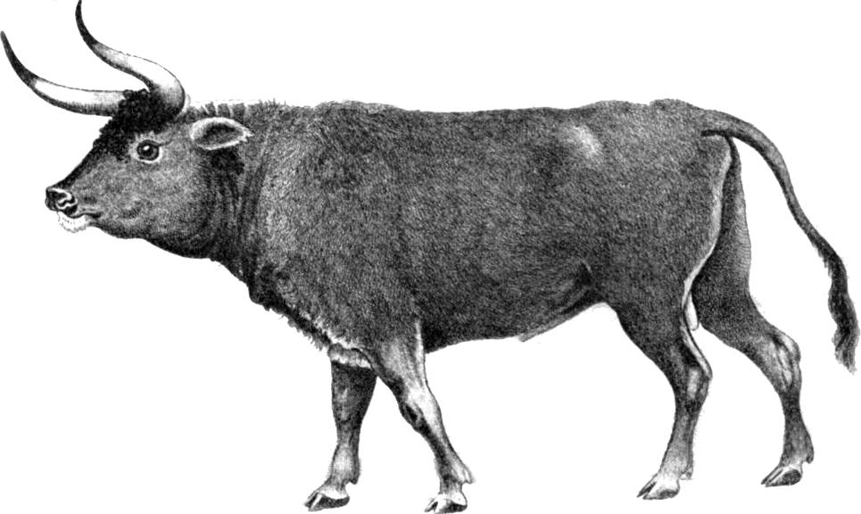 Тур вымерший бык