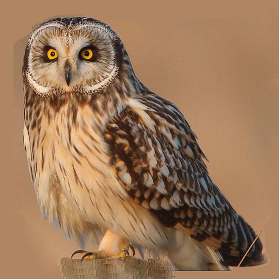 Болотная сова Доклад к теме птицы Окружающий мир 2 класс