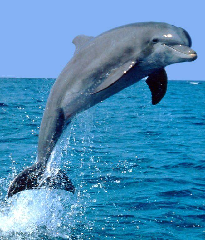 Дельфины Доклад к теме млекопитающие, окружающий мир. 2 класс.