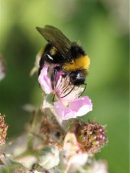 Пчелы Школьный доклад к темеПищевые цепочкиРоль животных в природе Окружающий мир 3 класс
