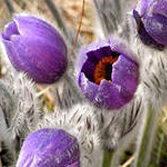 Сон трава Доклад к теме Растения