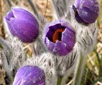 Сон трава Доклад к теме Растения занесенные в красную книгу Окружающий мир 3 класс
