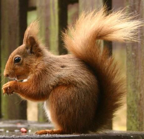 Повадки белки Доклад к теме повадки животных Окружающий мир 3 класс