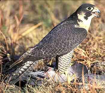 Сокол сапсан Доклад к теме птицы Окружающий мир 3 класс