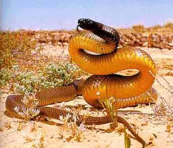 Самая ядовитая сухопутная змея Доклад к теме змеи Окружающий мир 3 класс