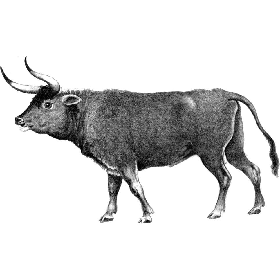 Тур вымерший бык Доклад к теме вымершие животные Природоведение 5 класс