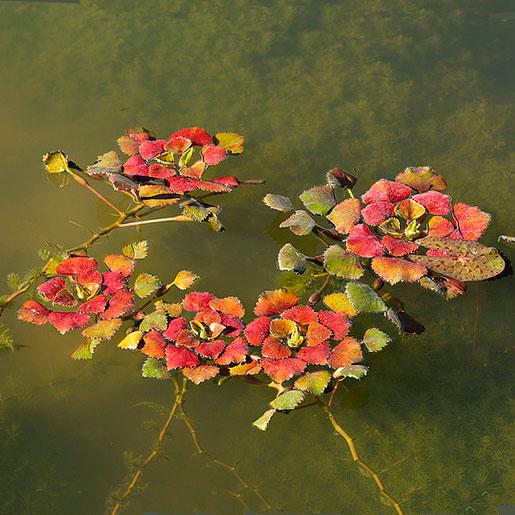 Чилим или водяной орех Растение из Красной книги. Окружающий мир. 3 класс.