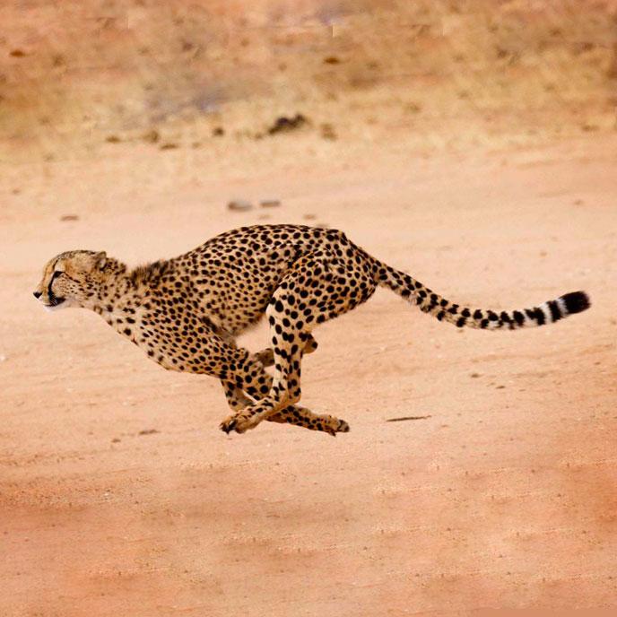 Гепард Доклад о животном Окружающий мир
