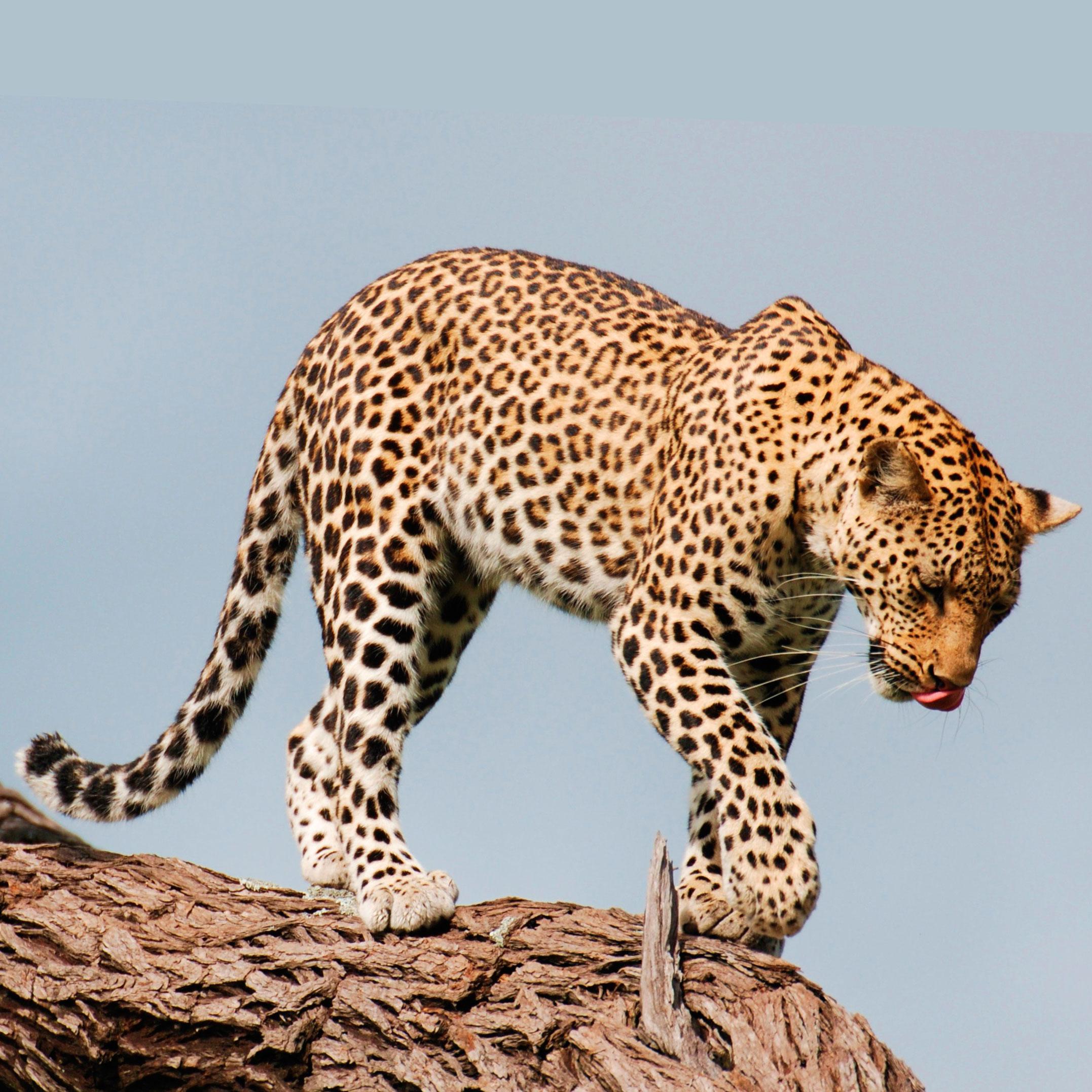 Леопард Доклад о животном Окружающий мир 2 класс