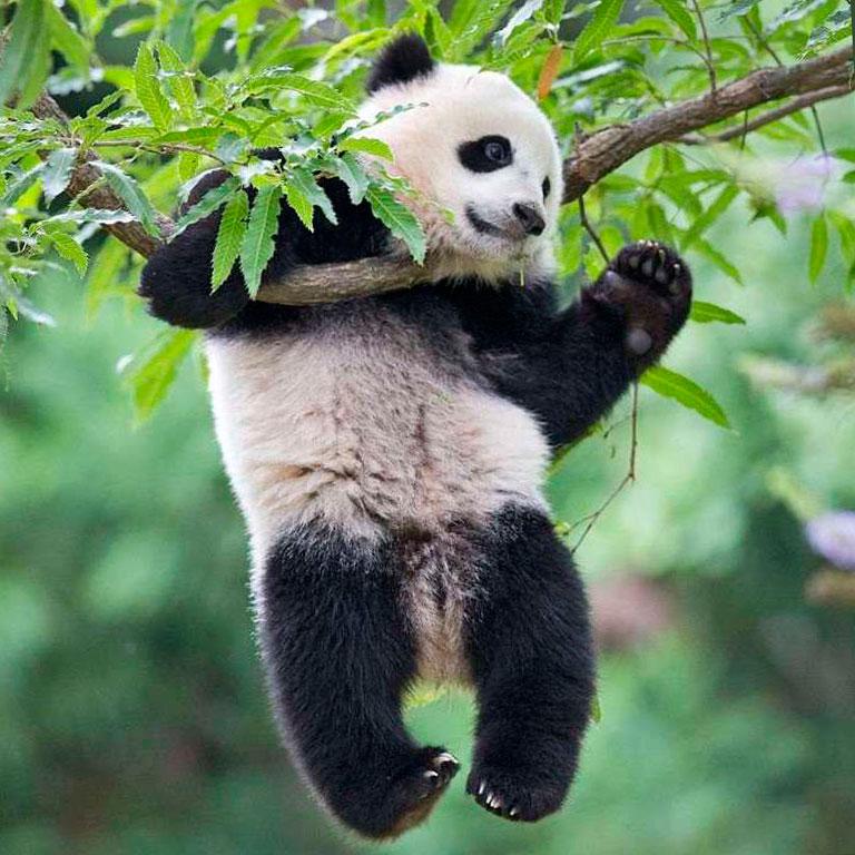 Панда животное занесенное в Красную книгу. Доклад. Окружающий мир. 4 класс.