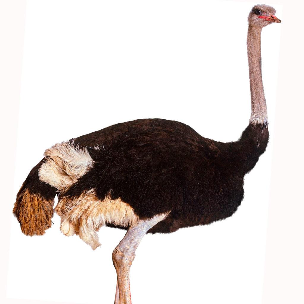 Доклад о страусах Окружающий мир 3 класс