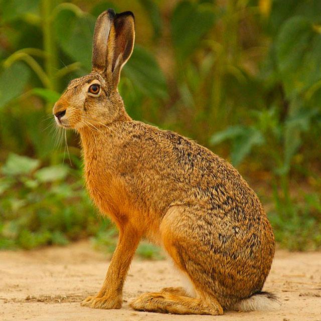 Краткое сообщение о зайце