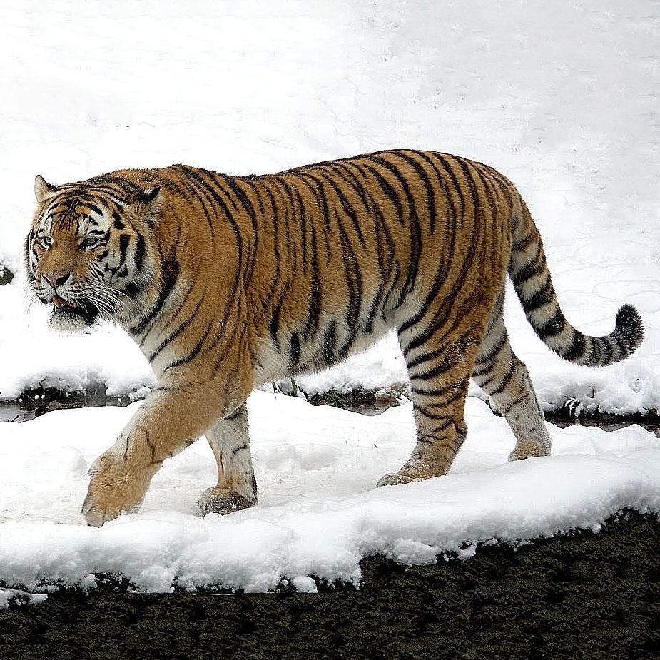 Амурский тигр животное из Красной книги. Окружающий мир 3 класс.