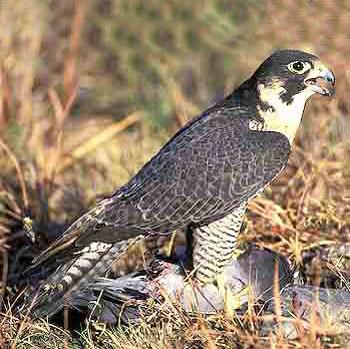 Доклад о птице сокол 1799